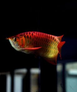 Buy Asian Red Arowana fish
