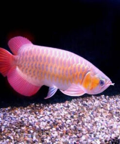 Buy Banjar Red Arowana