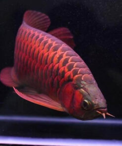 buy Chili Red Arowana Fish