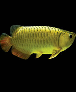 Buy Golden Arowana Fish