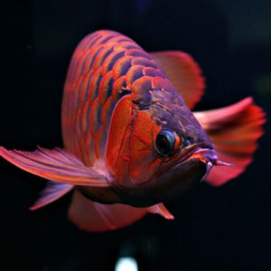 Buy Red Arowana fish,