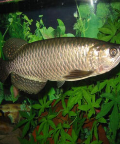Scleropages leichardti Arowana Fish for sale