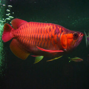 Buy Super Red Arowana fish