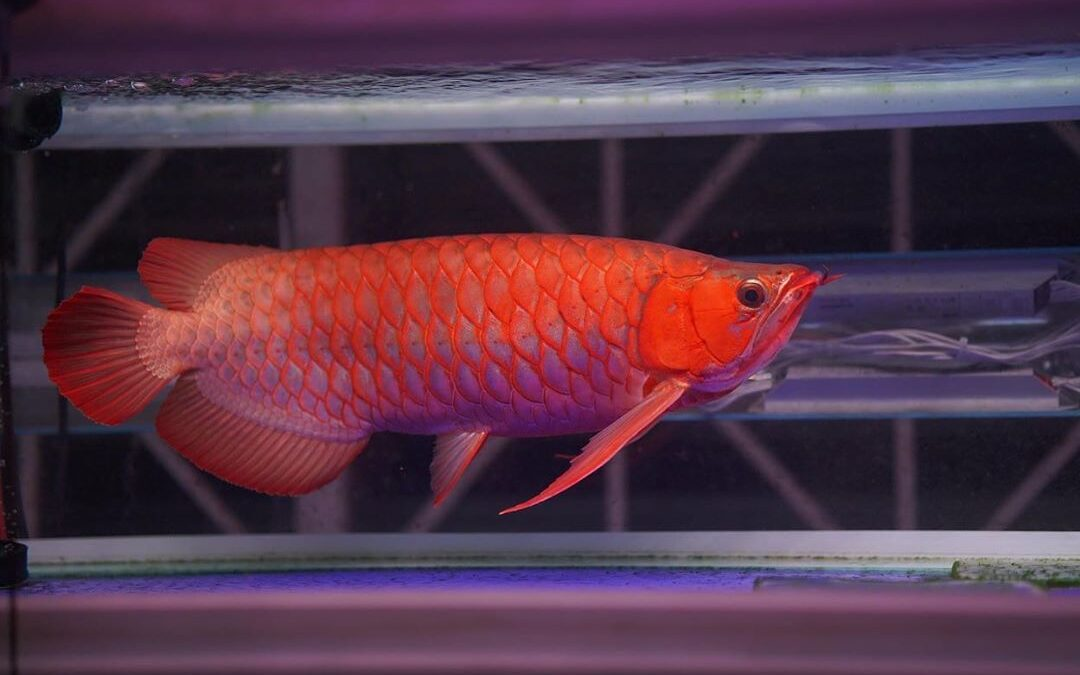5 Essential Elements For Buy Asian Red Arowana Fish