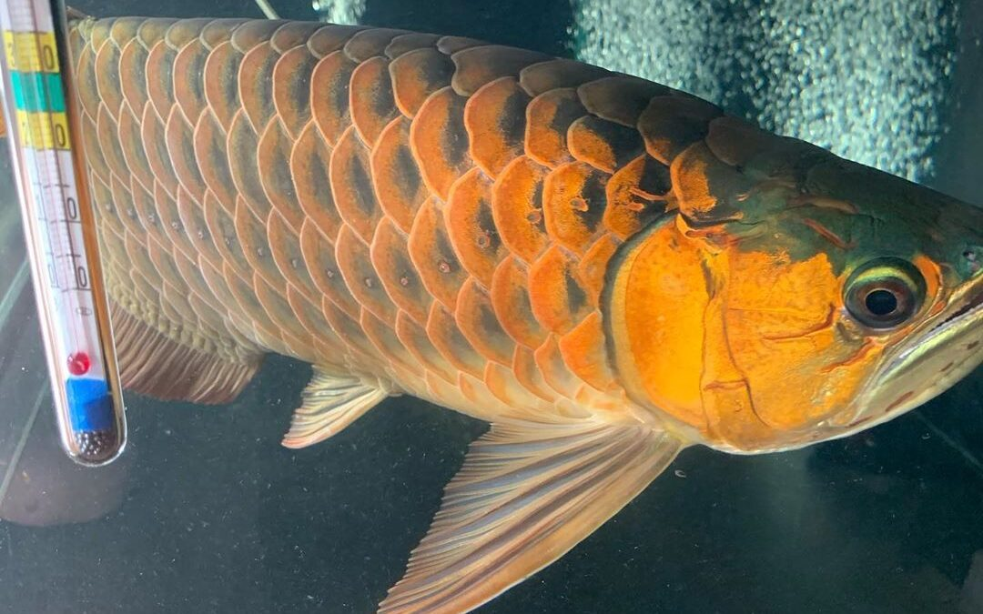What Does Buy Asian Red Arowana Fish Mean?